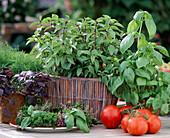 Basil, Cinnamon Basil, 'Great Green Genoveser'