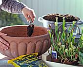 Planting Sarracenia (tube plant) in a bowl