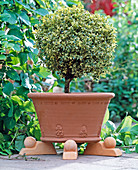 Buxus 'Variegata' (boxwood ball)