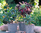 Succulente, Crassula arborenscens (money tree), Aeonium