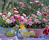 Bellis perennis 'Tasso white' and 'Tasso rosa', Bellis habanera