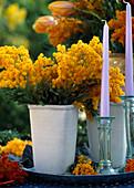 Acacia -Hybr. / Mimose mit gefärbten Blüten