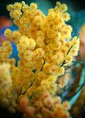 Acacia dealbata / Mimose mit orange besprühten Blüten