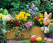 Yellow wooden box with primula elatior 'Crescendo golden yellow' white