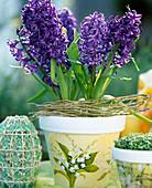 Hyacinthus orientalis 'King Kodro' (Hyacinth)