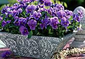 Viola corn. 'Patiola Pure Light Blue'
