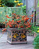 Chaenomeles (ornamental quince)