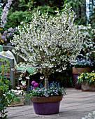 Prunus incisa 'Nana' (Dwarf Cherry), Myosotis