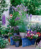 Delphinium (Larkspur), Iris sibirica, Ipomoea tricolor