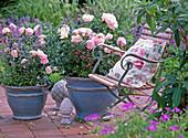 English Rose (Breeder Austin) 'Scepter' D Isle ', Nepeta