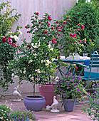 Solanum jasminoides, Abutilon