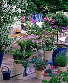 Fragrance corner with Citrus myrtifolia, Pelargonium 'Double Aprikote'