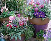 Spring flirt in purple pots, Aquilegia 'Spring Magic', Primula