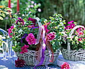 Basket with Petunia 'Double Pirouette' in different colors