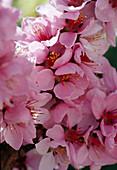 Prunus persica 'Amber var. Pixzee' (dwarf peach) flower