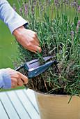 Cut back lavender severely after flowering