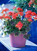 Pelargonium zonal 'Exotica Happy Orange'