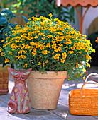 Tagetes tenuifolia 'Orange Gem' (Marigold)