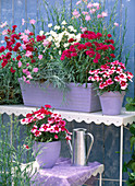 Dianthus corona 'Ideal Series-red, purple and white'