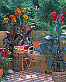 South Seas flair with Canna indica 'Tropicana' (Indian flower tube)