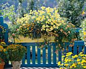 Argyranthemum frutescens' Butterfly'-Zinnia angustifolia 'Classic'