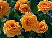 Rosa 'Clementine' (miniature rose) about 30-40 cm high