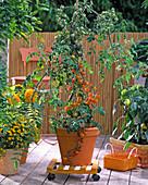 Tomato, fruit tomato 'Goldita' on rollable coaster