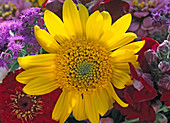 Helianthus decapetalus 'Capenoch Star' (Sunflower)