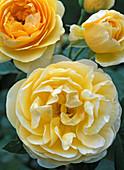Rose 'Graham Thomas', (English rose, shrub rose) about 1.5 m
