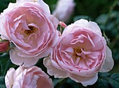 Rose 'Scepter d'Isle' (English rose, shrub rose) to 75 cm