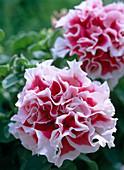 Petunia grandiflora 'Wimbledon Mix'
