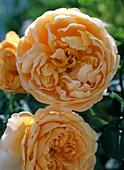Rose 'Golden Celebration', English Rose