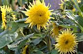Helianthus annuus 'Starburst Lemon'
