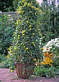Solanum jasminoides 'Variegata' (Common-leaved Jasmine)