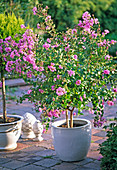 Lagerstroemia indica (curly myrtle)