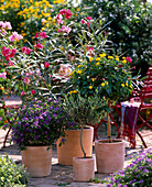 Solanum rantonnetii syn. lycianthes rantonnetii (gentian shrub)