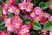 Begonia semperflorens (Ice Begonia)