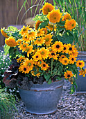 Bowl with Rudbeckia hirta 'Jam', 'Goldilocks' and Prairie Sun'