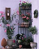 Corner shelf with various geraniums