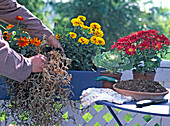 Replacing Faded Petunia in late summer