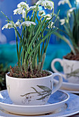 Galanthus nivalis 'Floriplena' (syn. 'Hortensis')