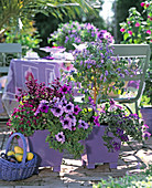Purple tin pots with Ageratum, Salvia, Petunia, Clerodendrum