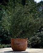 Tarragon in the pot