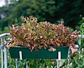 Salad 'RoterEichblatt'