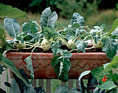Kohlrabi in the balcony box