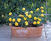 Miniature Rose 'Sun Child'