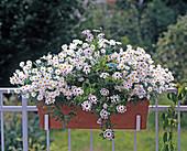Chrysanthemum frutescens 'Vera'