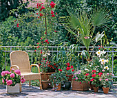 Rose tall stem, geraniums, lilies, bamboo, Washingtonia