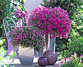 Verbena 'Superverbena' Pink ', Phlox Intensia' Lavender Glow'