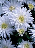 Chrysanthemum indicum 'Dreamstar Artemis'